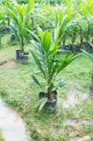 Nafcianej palmy sapling dla zasadzać Obraz Stock