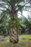 Nafciany drzewko palmowe Obrazy Royalty Free