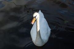 A nagé dans le lac Photos stock