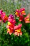 Nagły smoka kwiatu zakończenie up Zdjęcia Royalty Free
