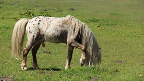 Nag Horse Graze And Relax sui prati aperti Immagini Stock