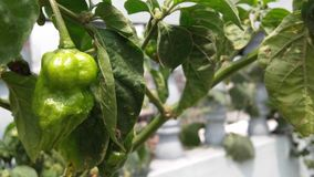 Naga chili. The Naga Chili, closely related to the Bhut jolokia, is a chillipeppercultivated in Bangladesh and North East India royalty free stock image