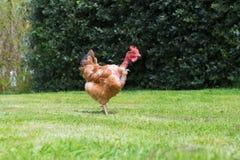 naga kurczak szyja Fotografia Royalty Free