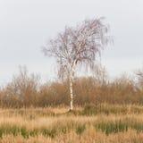 Naga Srebna brzoza (Betula wahadła) Zdjęcia Stock