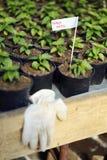 Naga Viper Hot Pepper Sapling. S in a greenhouse Royalty Free Stock Photos