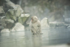 Nagano Snow Monkey Stock Photo