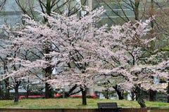Nagasaki stadssikt, stadsbyggnad och sakura, Japan Arkivfoto