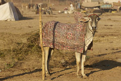 Nagaur Livestock Fair in India. Bullock in colourfully embroidered blanket at the annual Nagaur Livestock Fair in Rajasthan, India Royalty Free Stock Photo