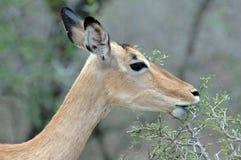 Nageln Sie Antilope fest. lizenzfreie stockfotografie