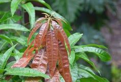 Nagelneue Blätter, die auf jungem Mangobaum sich öffnen Stockfotos