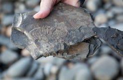 Nagelneues Fossil lizenzfreies stockbild
