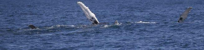 Nageoires de baleine de bosse Images libres de droits