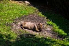 Nagetier Capybara stockfotografie
