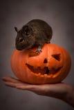 Nagetier in Halloween-Kürbis Lizenzfreies Stockfoto