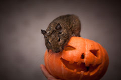 Nagetier in Halloween-Kürbis Stockfotografie