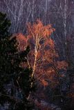 nagi brzozy drzewo w czerwonym świetle słonecznym obraz royalty free