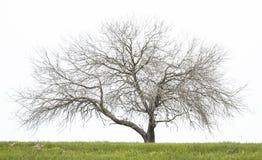 nagi dębowy drzewo zdjęcia stock