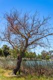 Nagi drzewo bez liści w zimy popołudniu fotografia royalty free