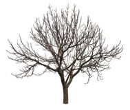 Nagi drzewo odizolowywający nad bielem Zdjęcia Royalty Free