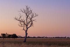 Nagi drzewo w polu przy zmierzchem zdjęcie stock