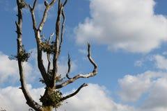 Nagi drzewo wierzchołka au naturale zdjęcia royalty free