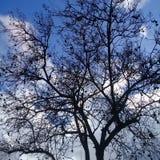 Nagi drzewo z czarnym bursztynem pod jasnym niebieskim niebem zdjęcia royalty free