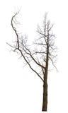 Nagi drzewo z długą gałąź na bielu Obrazy Royalty Free