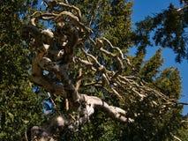 Nagi drzewo z niezwykle kilkuramiennymi gałąź fotografia royalty free