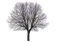 Nagi lipowy drzewo Zdjęcie Royalty Free