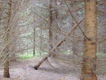 Nagi sosnowy drewno zdjęcia stock
