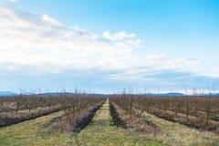 Nagie jabłonie w sadzie w wczesnej wiośnie Fotografia Stock