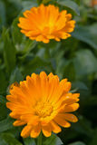 nagietek calendula kwiat Obraz Royalty Free