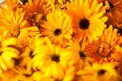 Nagietek (calendula officinalis) Zdjęcia Royalty Free