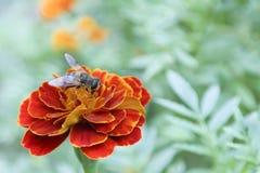 Nagietek i pszczoła Zdjęcia Stock