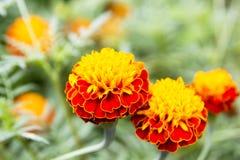 Nagietek kwitnie, Żółci nagietków kwiaty w ogródzie, kolor żółty Zdjęcia Royalty Free