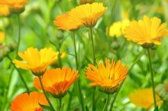 Nagietek kwitnie w ogródzie Obrazy Royalty Free