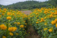Nagietek kwitnie w Tajlandia Obraz Stock