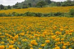 Nagietek kwitnie w Tajlandia Obraz Royalty Free