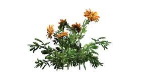 Nagietek - ornamentacyjna roślina z kolorem żółtym brudno- czerwoni okwitnięcia zdjęcie royalty free