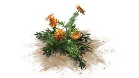Nagietek - ornamentacyjna roślina z kolorem żółtym brudno- czerwoni okwitnięcia obraz stock