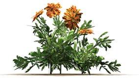 Nagietek - ornamentacyjna roślina z kolorem żółtym brudno- czerwoni okwitnięcia obrazy royalty free
