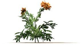 Nagietek - ornamentacyjna roślina z kolorem żółtym brudno- czerwoni okwitnięcia obrazy stock