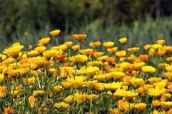 Nagietek pomarańcze kwiatów roślina Fotografia Royalty Free