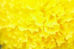 Nagietek roślina w ogródzie przy latem pod światłem słonecznym z yellowl, typowo, natury tło, abstrakcjonistyczni tła, wybrana os Zdjęcie Royalty Free
