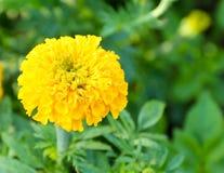 Nagietek w kwiatu gospodarstwie rolnym Zdjęcia Royalty Free