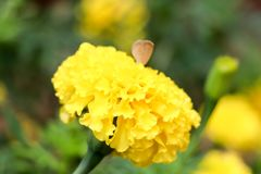 Nagietków kwiaty Zdjęcia Royalty Free