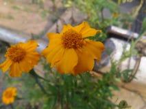 Nagietków kwiaty obrazy royalty free