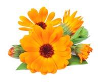 Nagietków kwiaty zdjęcie royalty free
