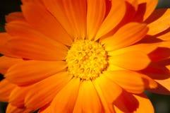 Nagietków kwiaty