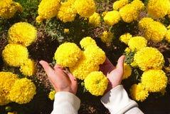 Nagietków kwiaty Zdjęcie Stock